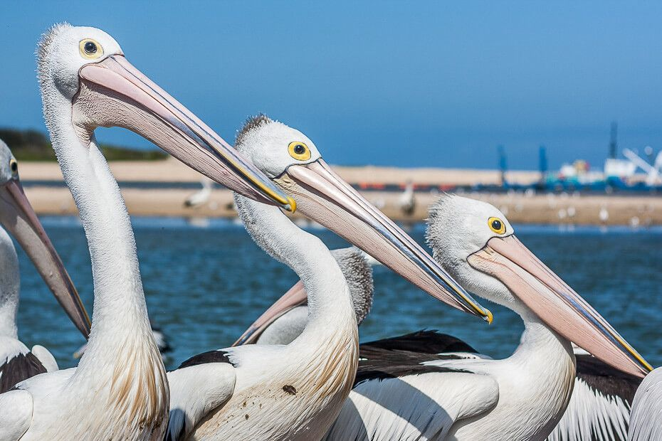 Pelican feeding at The Entrance, Central Coast NSW