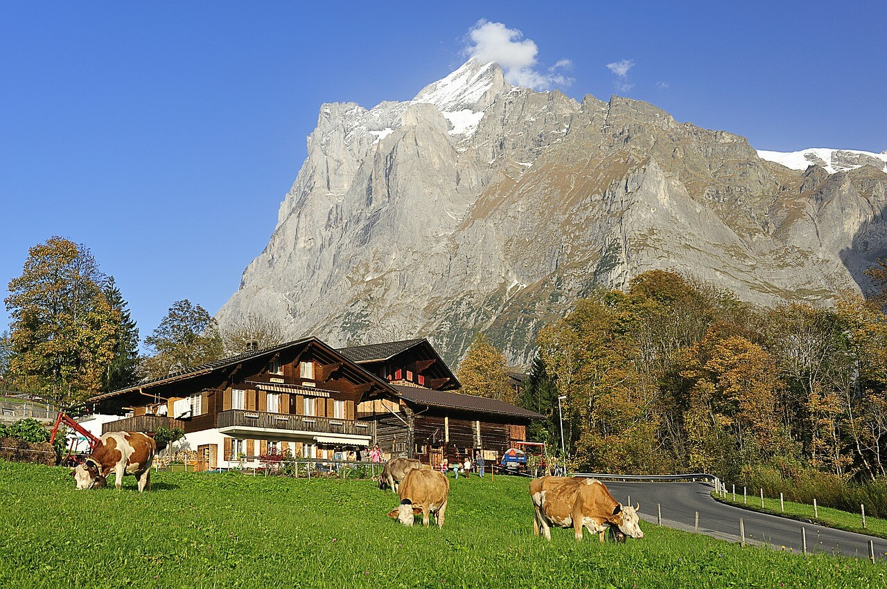 The cows look like they're smiling in Switzerland.